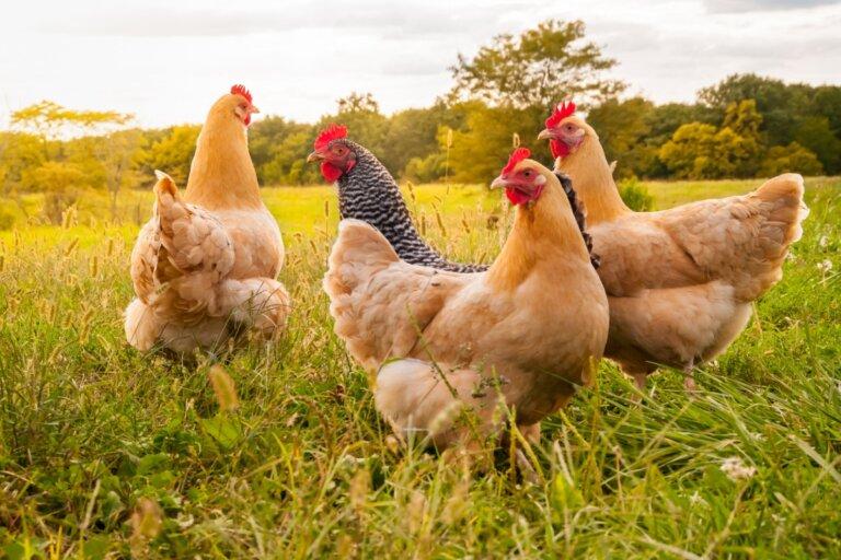 ¿Cómo cuidar gallinas?