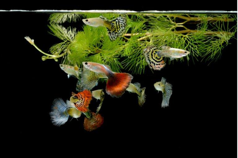 ¿Cómo se reproduce el pez guppy?