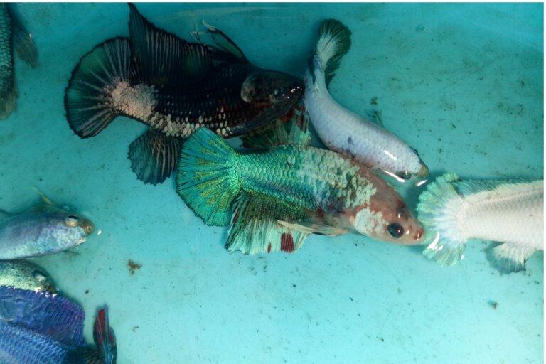 Gusano Lernea en peces: síntomas y tratamiento