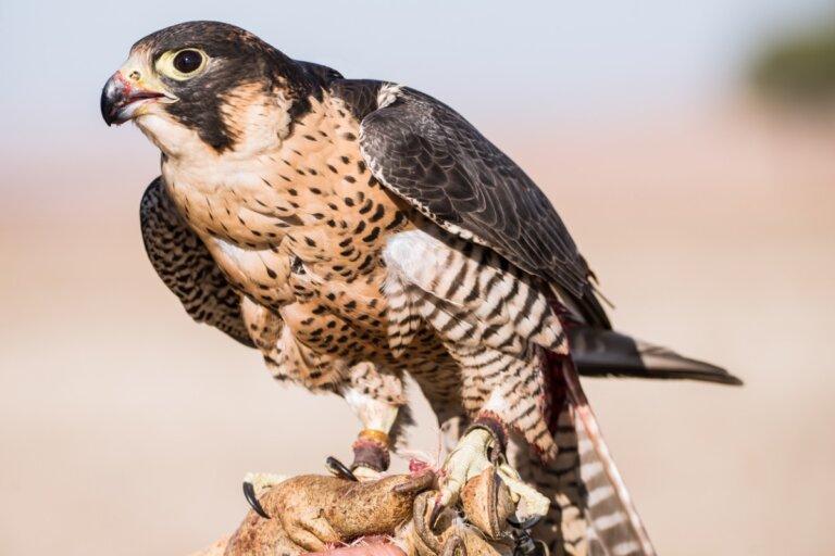 ¿Qué comen los halcones?