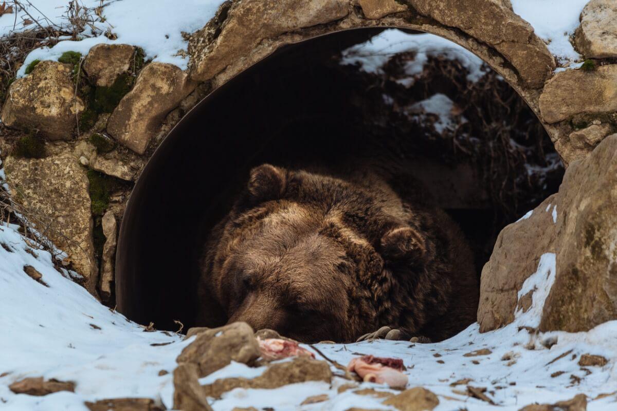 Un exemple de l'hibernation des ours.