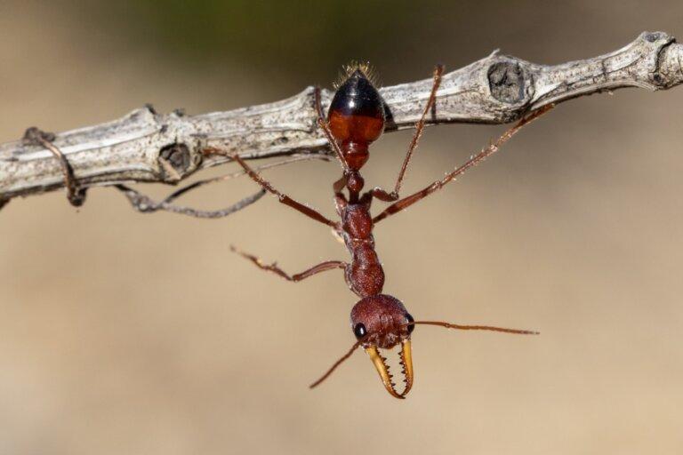 Hormiga bulldog: hábitat y características