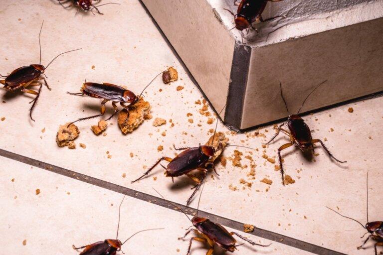 ¿Qué comen las cucarachas?