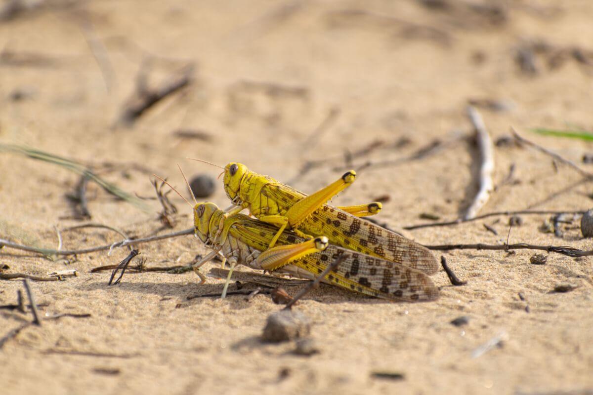 10 curiosidades de las langostas