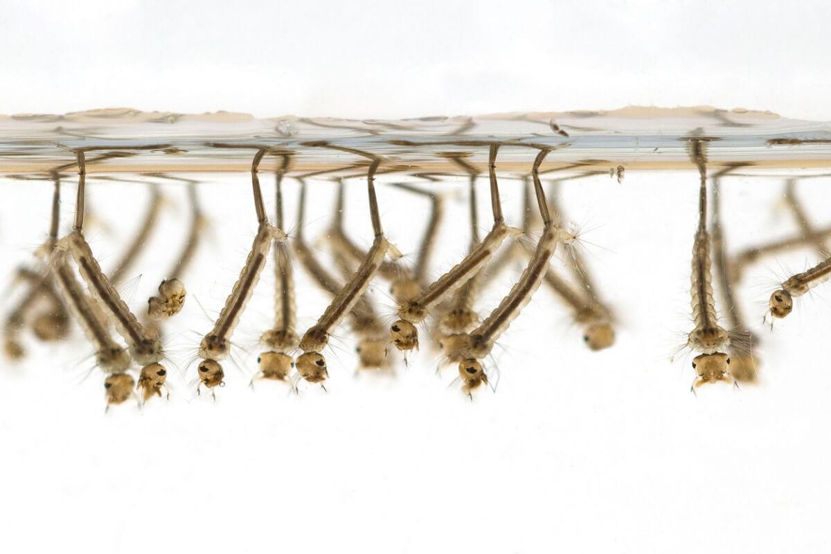 Un groupe de larves de moustiques dans l'eau.