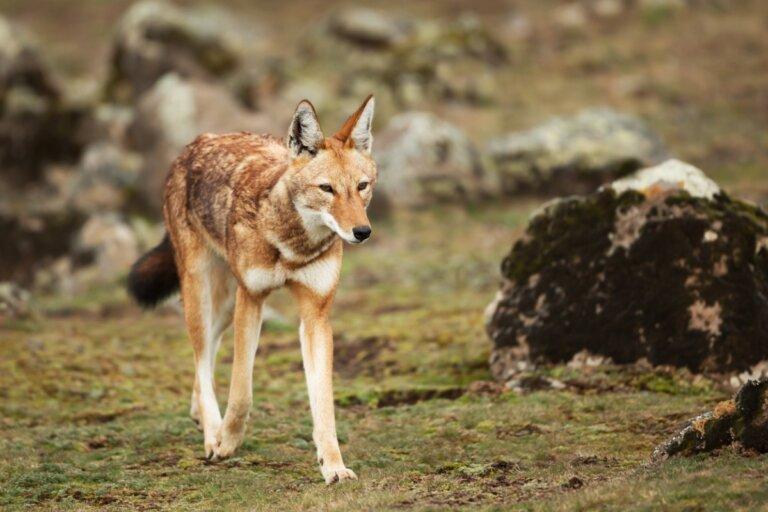 Lobo etíope: hábitat y características