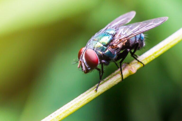 ¿Qué comen las moscas?