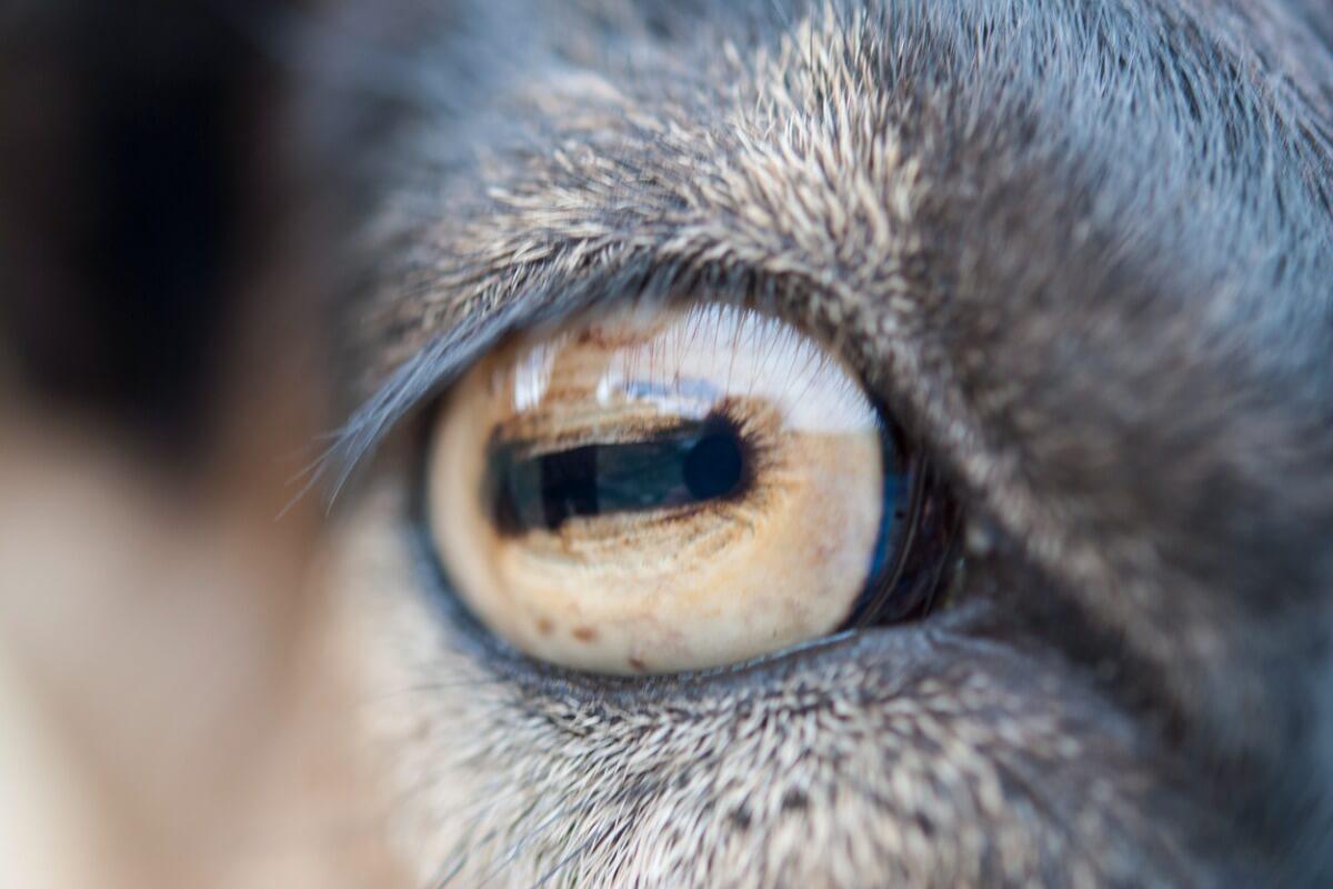 Uno de los ojos más bonitos del reino animal.