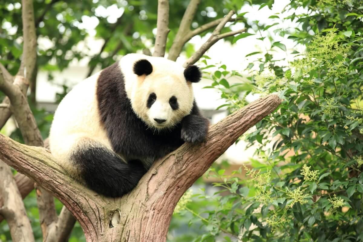 Un oso panda gigante.