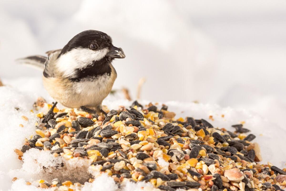 Un uccello che mangia i semi.