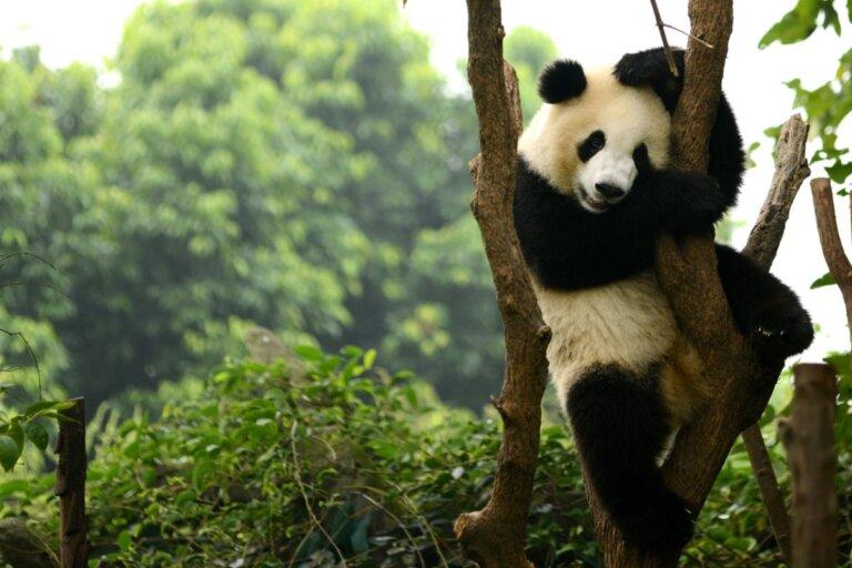 Pandas gigantes de China, una especie fuera de extinción