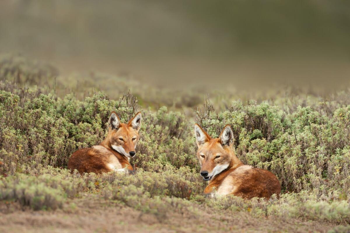 Una pareja de lobos etíopes.