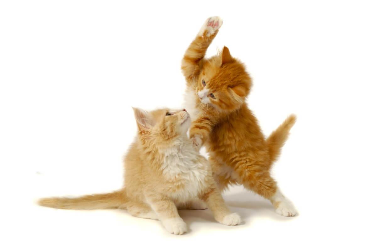 Deux chats se battent.
