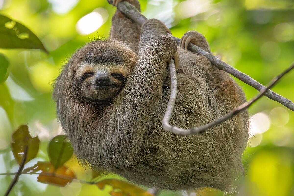 Un bradipo su un ramo.