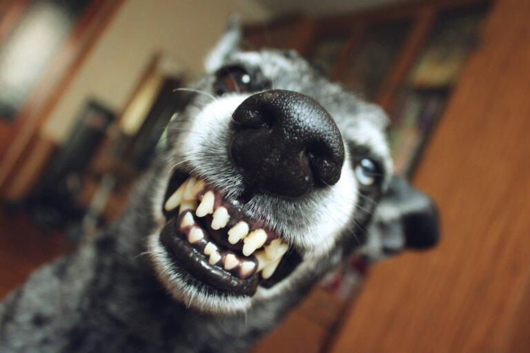 ¿Por qué mi perra gruñe o muerde a sus cachorros?