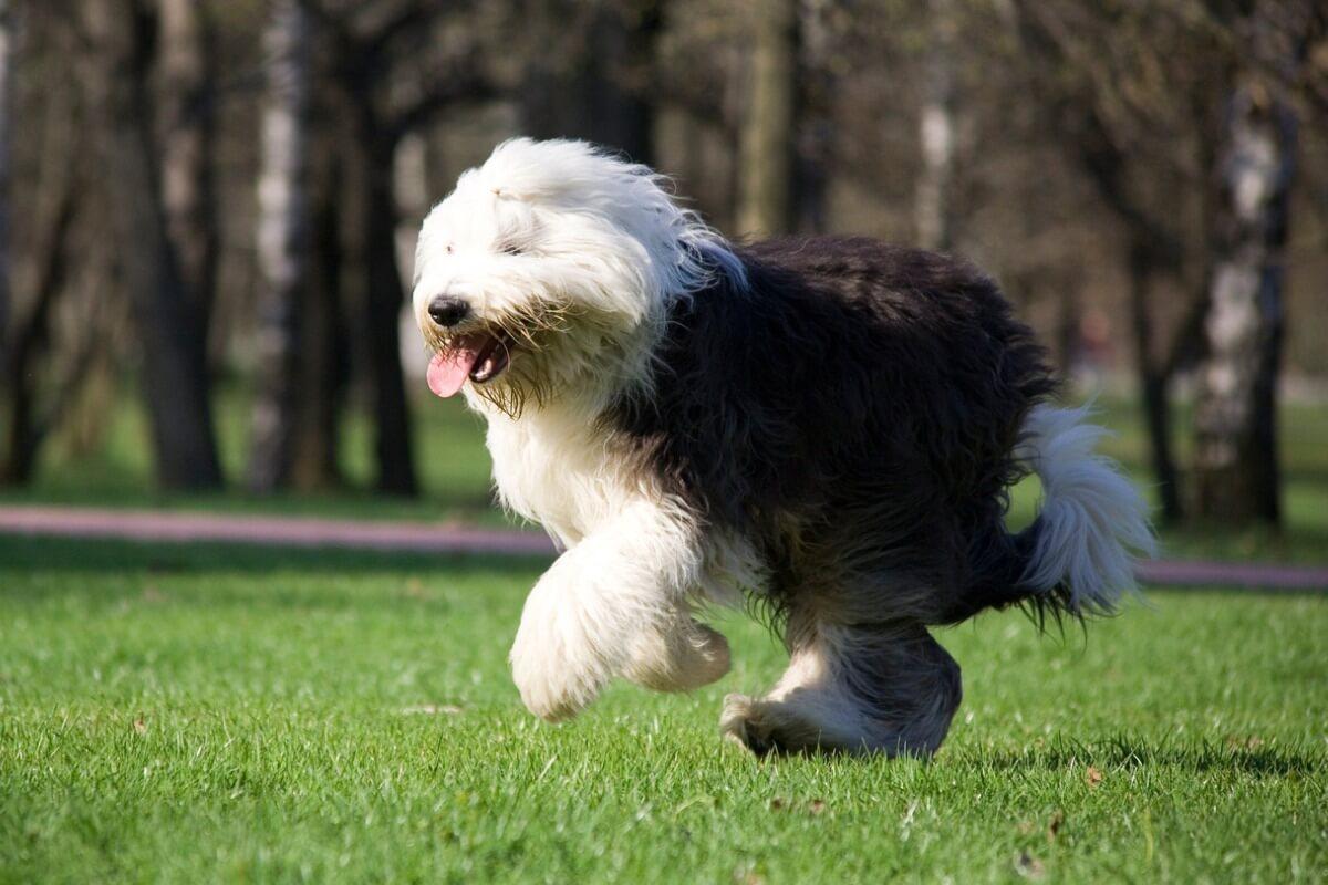 Un chien bobtail qui court.