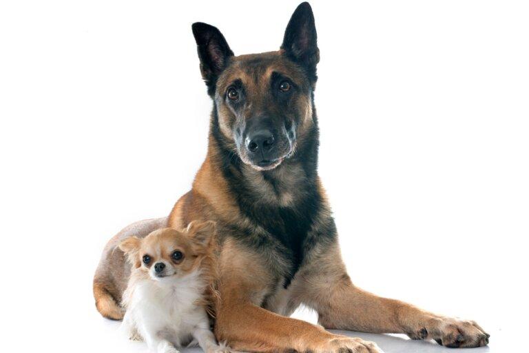 ¿Por qué mi perro adulto muerde a un cachorro?