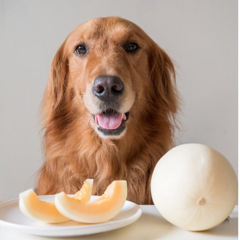 ¿Pueden los perros comer melón?