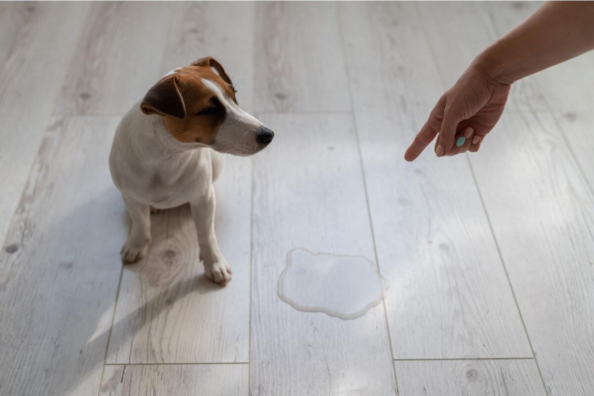 Un perro que se siente culpable después de hacer pis.