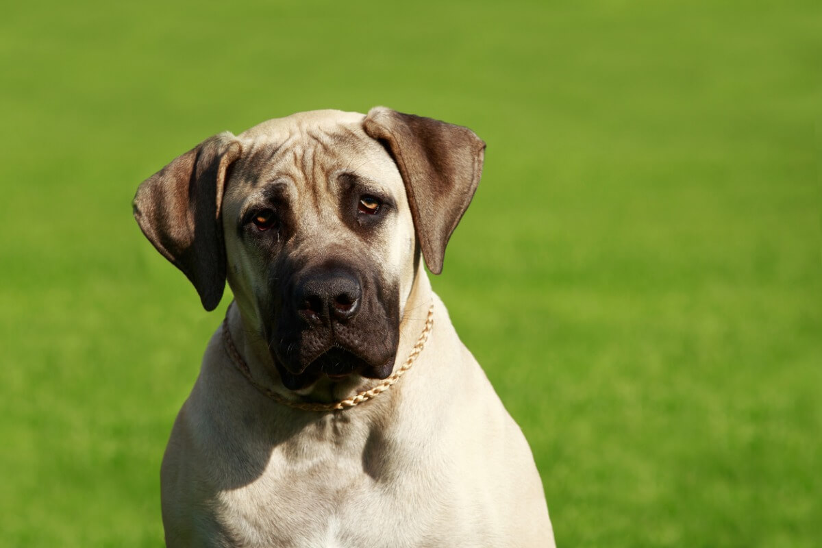 Un perro mastín inglés.