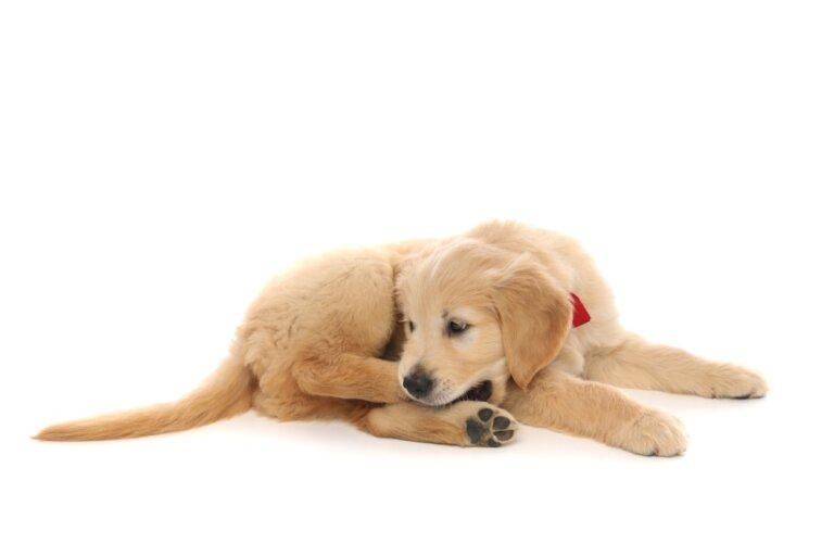 ¿Por qué mi perro se muerde la pata?