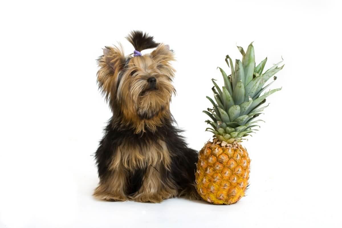 Un perro con una piña sobre un fondo blanco.