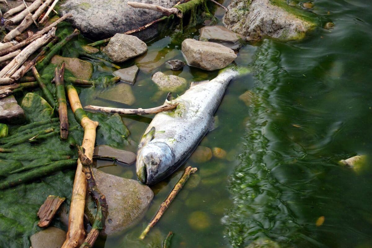 Peces son adictos a las metanfetaminas arrojadas a los ríos