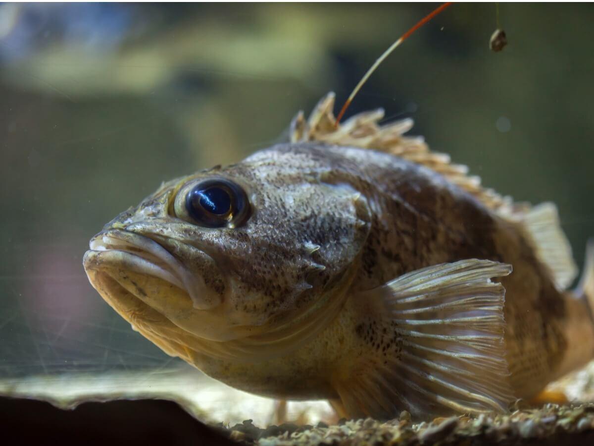 A dangerous fish under water.