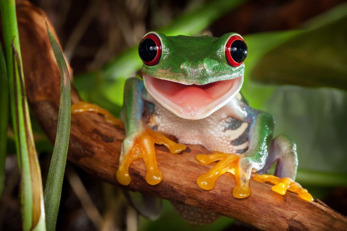 Une grenouille avec les plus beaux yeux de la nature.