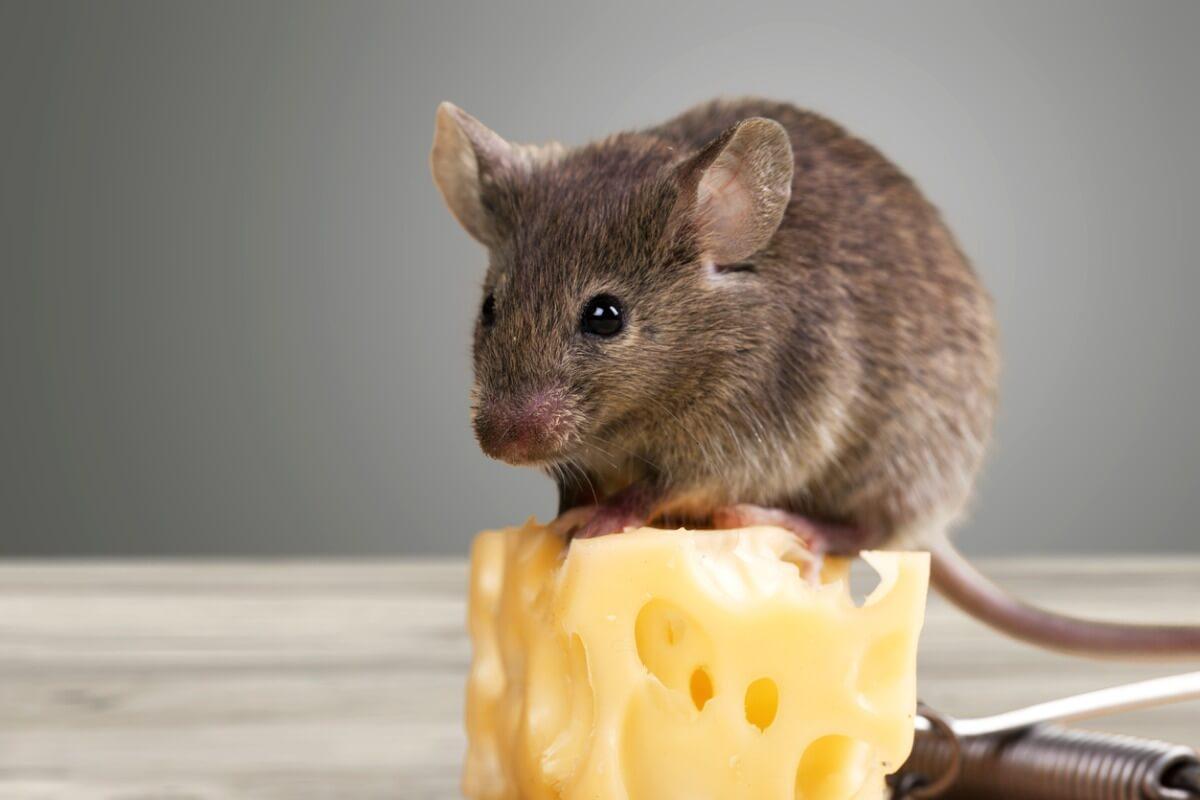 Een muis op een blokje kaas