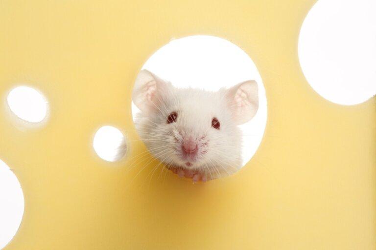 ¿A los ratones les gusta el queso?