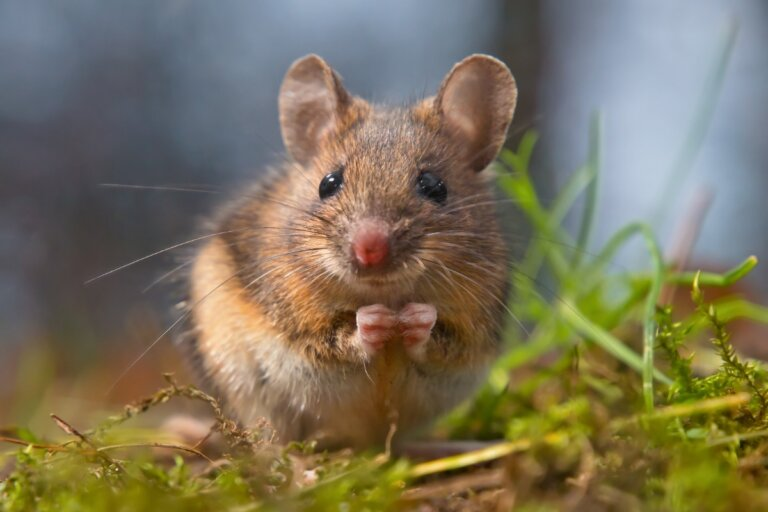 10 curiosidades de los ratones