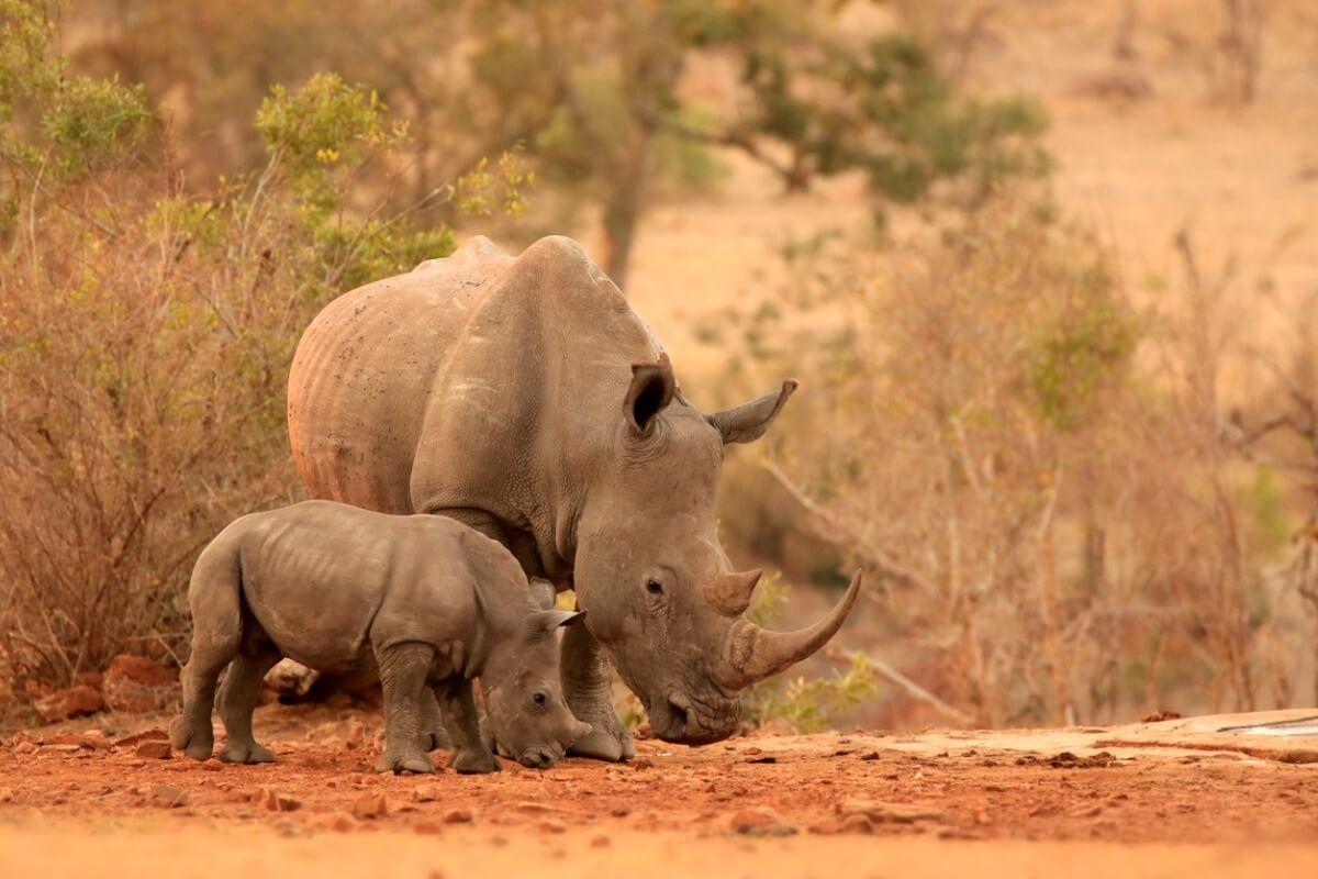 Un par de rinocerontes africanos.