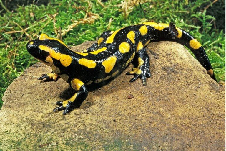 Salamandra común: hábitat y características
