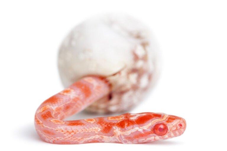 ¿Cómo nacen las serpientes?