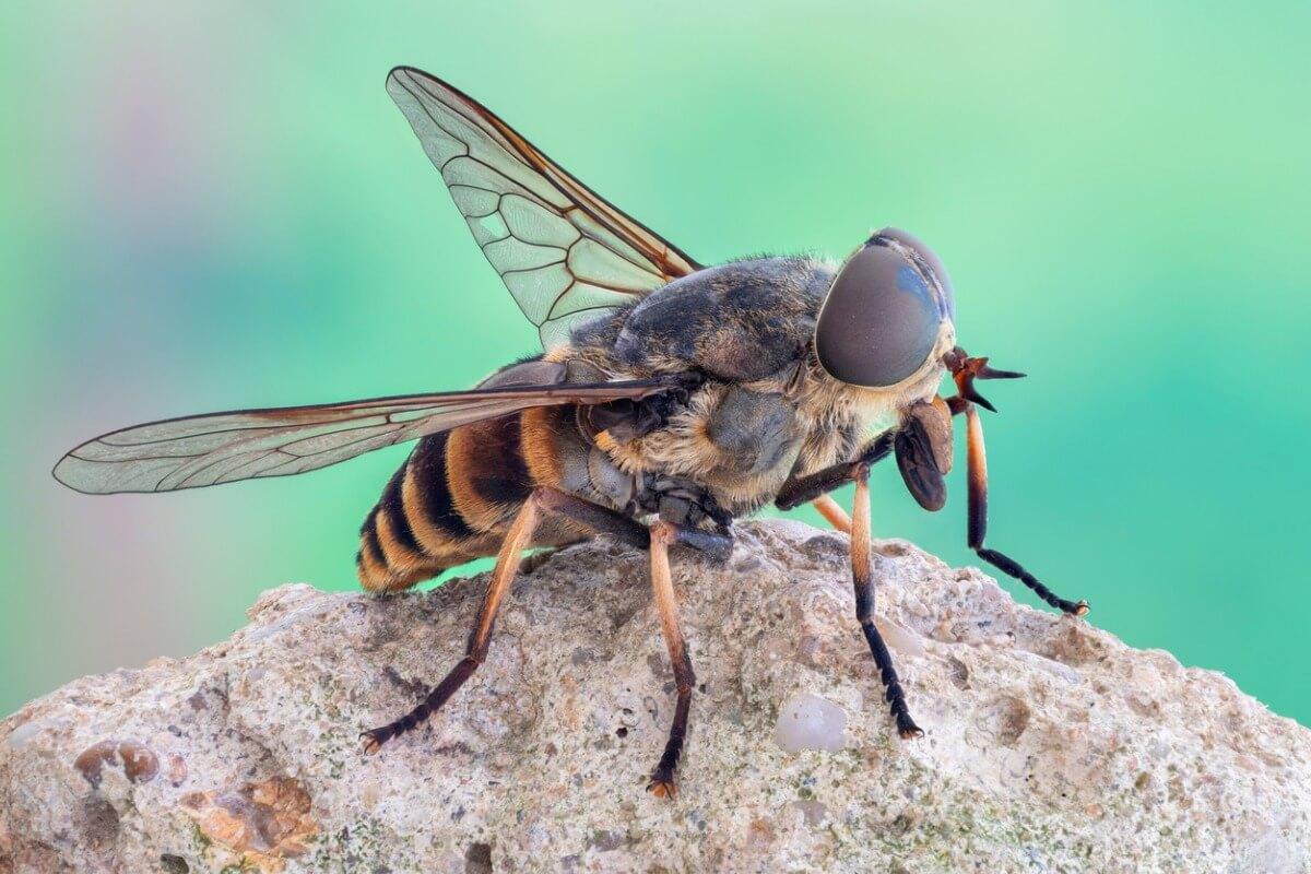Una mosca grande del grupo de los tábanos.