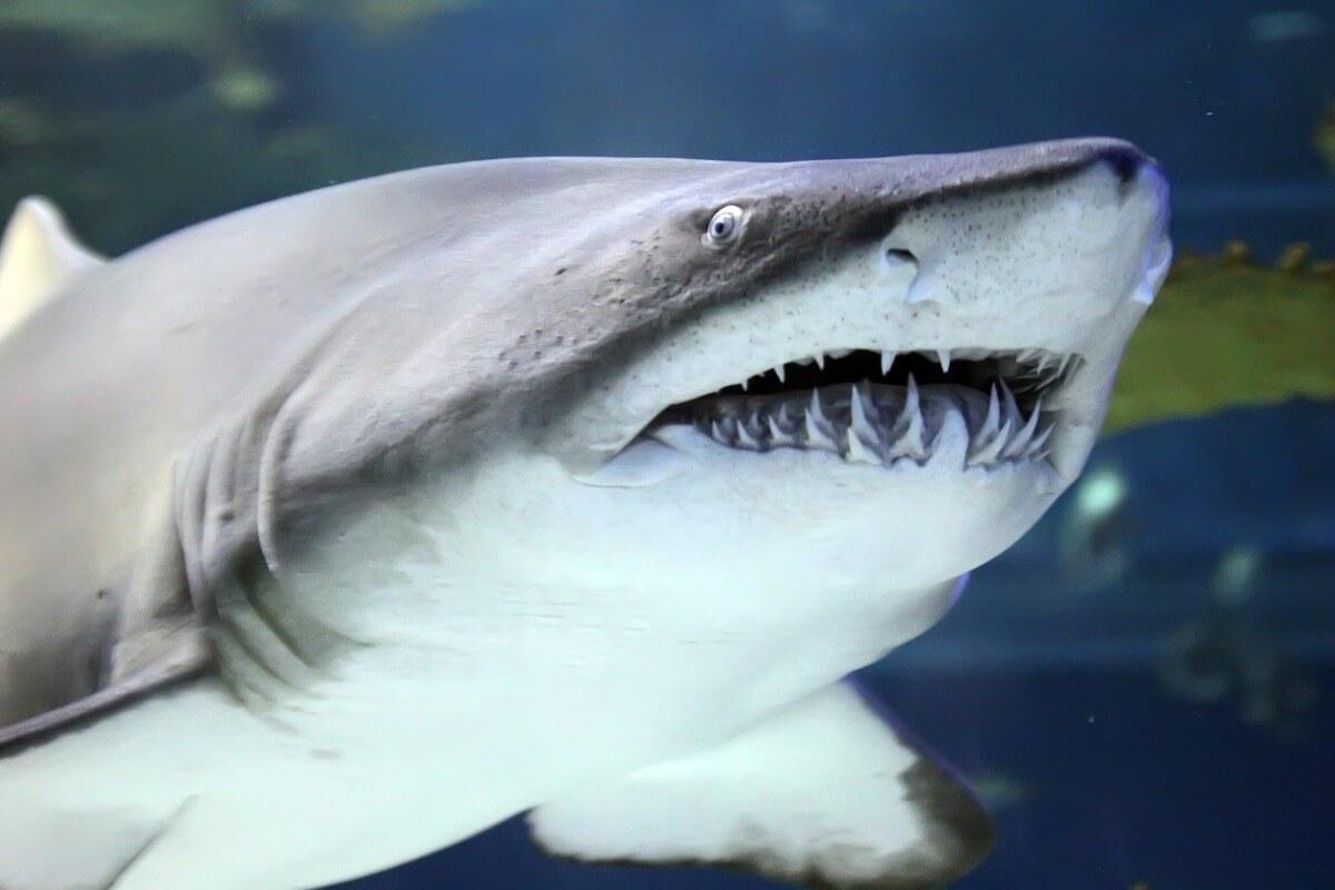 ¿Cuántos dientes tiene un tiburón?