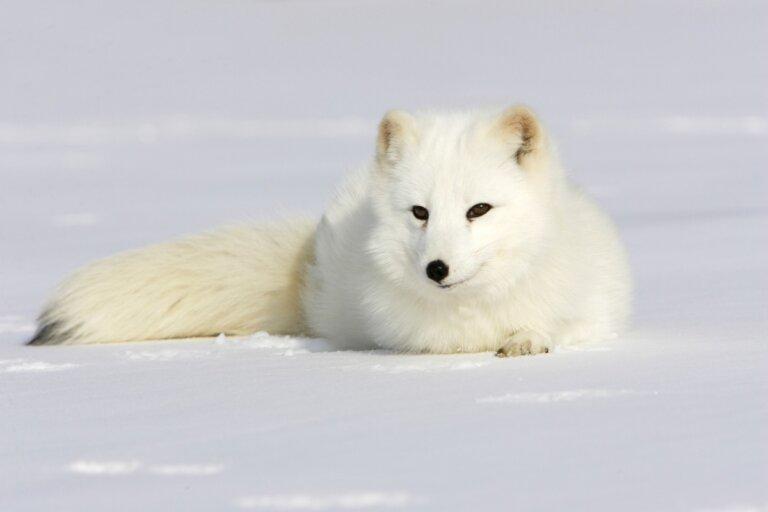 ¿Por qué el pelaje del zorro ártico cambia de color?