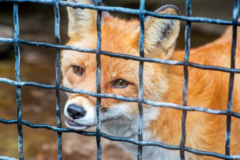 ¿Puede tenerse un zorro como mascota?