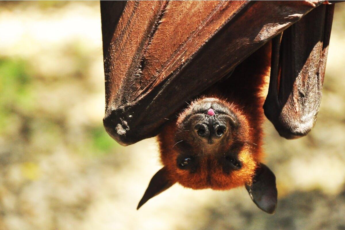 Murciélago zorro: hábitat y características
