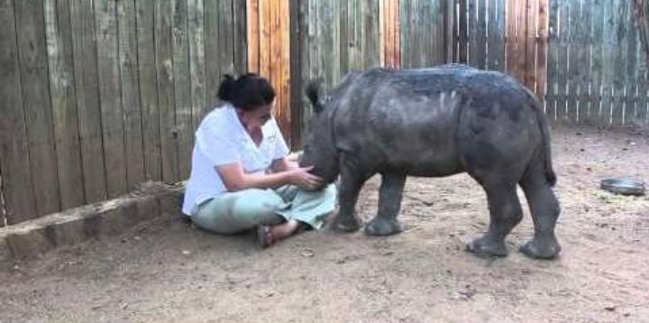 Vídeo: rinocerontes agradecidos