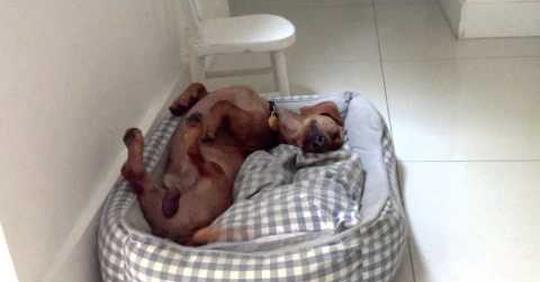 Frank, el perro feliz que duerme feliz