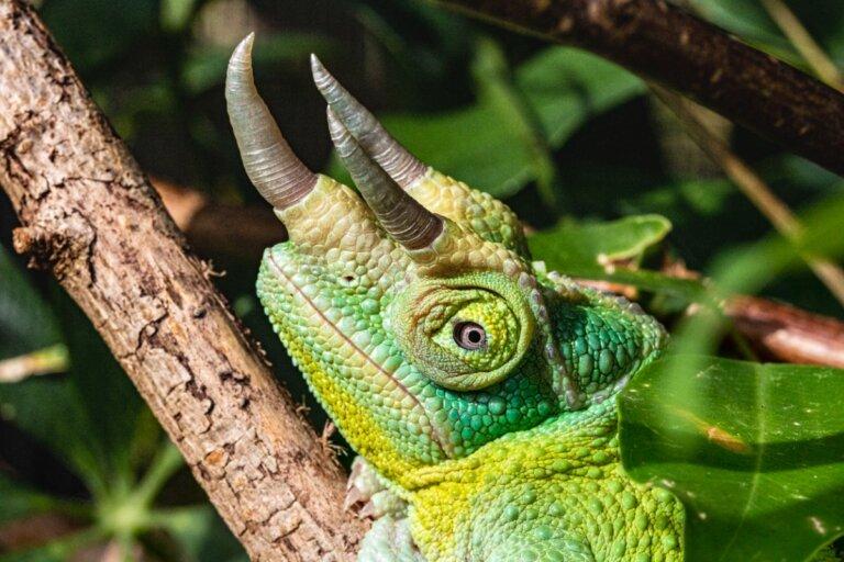 Camaleón de tres cuernos: hábitat y características