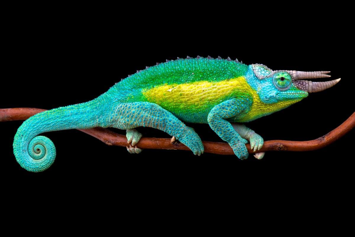Un caméléon à trois cornes sur toute sa longueur.