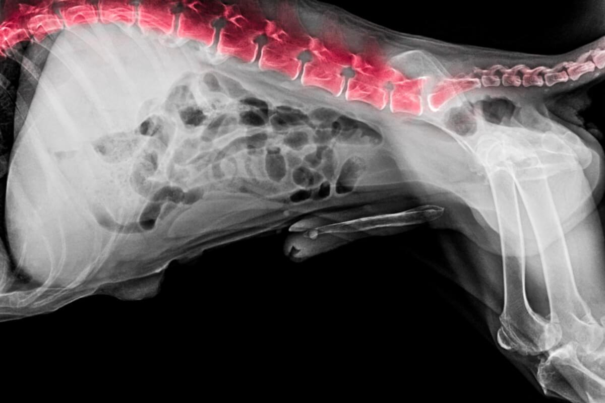 Un esempio di cauda equina nei cani.