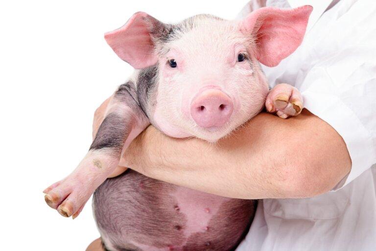Las 10 enfermedades más comunes en cerdos