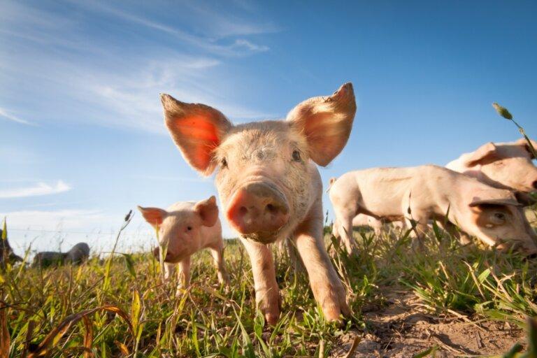 ¿Los cerdos sudan?