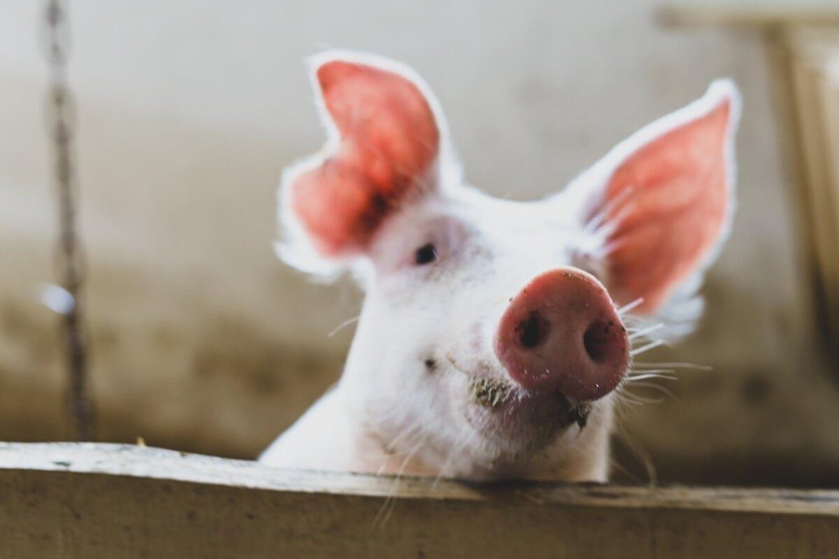 Le museau d'un cochon.