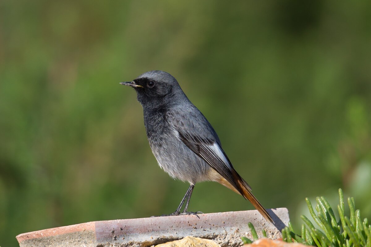 Uno degli uccelli più comuni in Spagna.