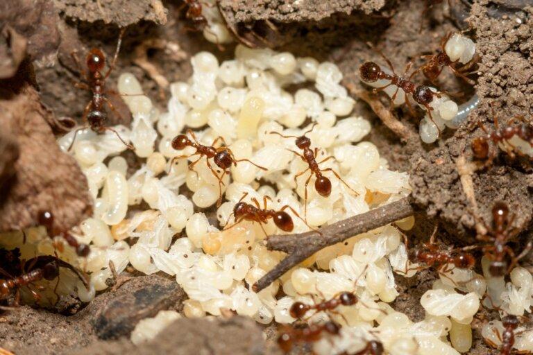 ¿Cómo nacen las hormigas?